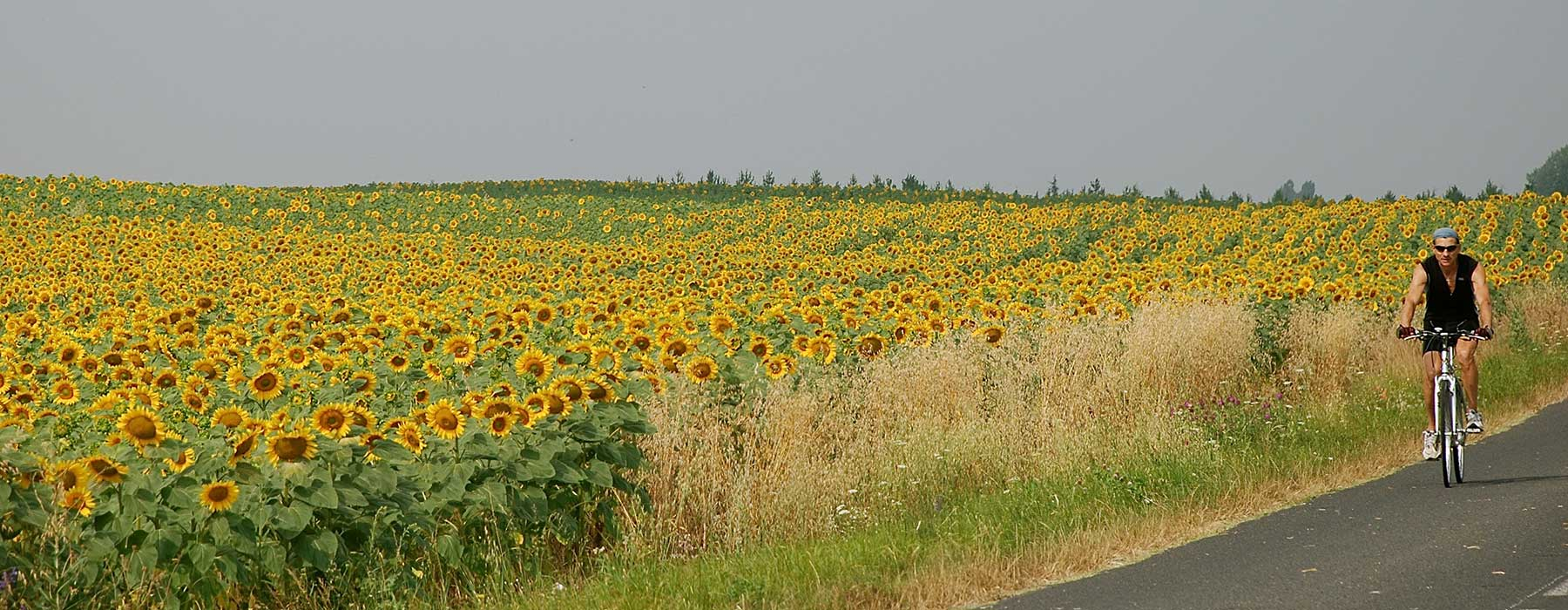 Sunflowers_camping-dordogne